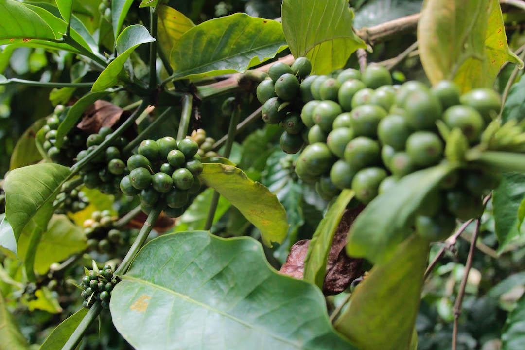 Producción de café